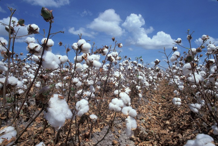 cotton-harvest
